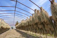 ビニールハウスの骨組みに干す稲