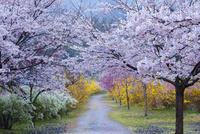 桜並木に続く道