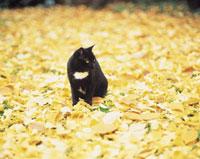 イチョウの落葉と黒猫