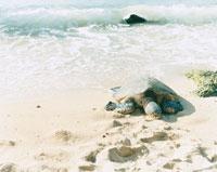 波打ち際の海亀 30002000218| 写真素材・ストックフォト・画像・イラスト素材|アマナイメージズ