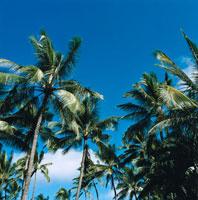 椰子の木と青空 30003000607| 写真素材・ストックフォト・画像・イラスト素材|アマナイメージズ
