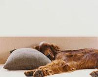 ソファで寝る犬