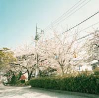 遊歩道と桜並木と提灯