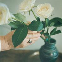 白いバラを生ける70代の日本人女性の手元