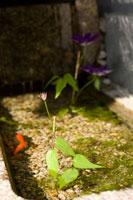 屋外の金魚と植物