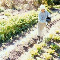 畑の野菜に水をやる日本人女性 30024000125| 写真素材・ストックフォト・画像・イラスト素材|アマナイメージズ