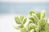 多肉植物 30036000128  写真素材・ストックフォト・画像・イラスト素材 アマナイメージズ