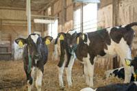 牛舎の中の子牛