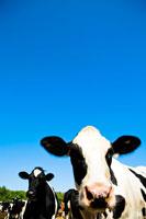 牧場の牛 30037000033| 写真素材・ストックフォト・画像・イラスト素材|アマナイメージズ