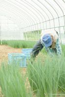 小ねぎを収穫する農夫