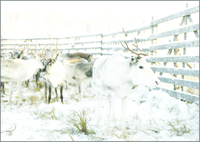 トナカイの群れと雪 31005000011| 写真素材・ストックフォト・画像・イラスト素材|アマナイメージズ