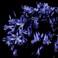 花と黒バック