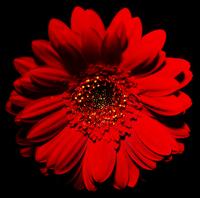 花と黒バック 31019000012| 写真素材・ストックフォト・画像・イラスト素材|アマナイメージズ