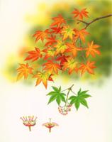 イロハモミジ(イロハカエデ・タカオカエデ)の花のつくりと紅葉