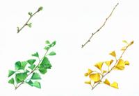 イチョウ(芽吹き、葉、黄葉、冬芽)