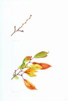 サクラの枝の様子(上:冬 下:秋)