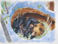 冬ごもり中に出産するエゾヒグマ;地中断面