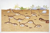 クロオオアリの巣内の様子(地中断面) 32011000016| 写真素材・ストックフォト・画像・イラスト素材|アマナイメージズ