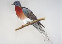 リョコウバト:絶滅種(1914年に絶滅)北米〜中米に生息