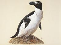 オオウミガラス:絶滅種(1844年に絶滅)カナダ・ニューファ