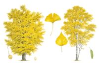 イチョウ(左) シラカンバ(シラカバ):樹形、葉、実 32017000023| 写真素材・ストックフォト・画像・イラスト素材|アマナイメージズ