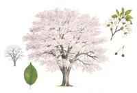 ソメイヨシノ(サクラ)(樹形、花、葉、実)