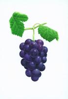 ブドウ'巨峰'の果実
