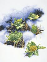 雪解けに姿を現したフキノトウ