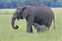 子に授乳するアフリカゾウの母親