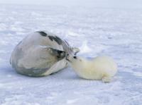 顔を寄せ合うタテゴトアザラシの親子