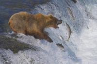 遡上するサケを捕るアラスカヒグマ(コディアックヒグマ)