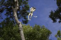 木から木へ跳び移るタターサルシファカ