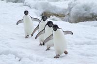 列をなして歩くアデリーペンギン