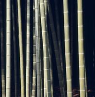 モウソウチクの竹林 32048000456  写真素材・ストックフォト・画像・イラスト素材 アマナイメージズ