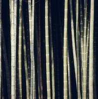 モウソウチクの竹林 32048000457  写真素材・ストックフォト・画像・イラスト素材 アマナイメージズ