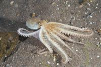 砂底を移動するマダコ