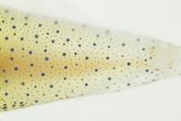 ホタルイカの腹面発光器 32049000261| 写真素材・ストックフォト・画像・イラスト素材|アマナイメージズ