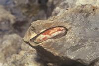 岩の中のイシマテ(イシマテガイ):岩断面 32050000010| 写真素材・ストックフォト・画像・イラスト素材|アマナイメージズ