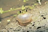 水田で鳴くニホンアマガエル(アマガエル) 32053000030| 写真素材・ストックフォト・画像・イラスト素材|アマナイメージズ