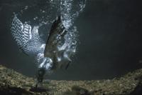 水中でカワムツを捕食するヤマセミ