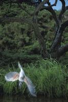 魚めがけて飛び込むヤマセミのメス 32053000078  写真素材・ストックフォト・画像・イラスト素材 アマナイメージズ