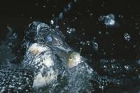 水上に飛び出すヤマセミ(瞬膜を閉じている) 32053000080  写真素材・ストックフォト・画像・イラスト素材 アマナイメージズ