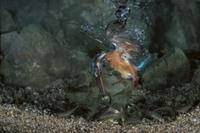 水中でカワムツを捕えたカワセミのメス