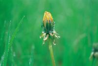 雨の日のセイヨウタンポポ 花を閉じている