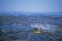 オホーツク海に流れ込む川を遡上するサケ 32053000102| 写真素材・ストックフォト・画像・イラスト素材|アマナイメージズ