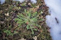 雪解けの大地に葉を大きく広げるカンサイタンポポのロゼット