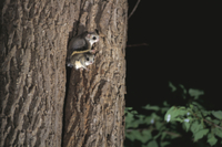 巣穴から出るエゾモモンガの親子