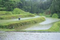 雨中での田植え風景