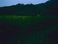 山里を飛びかうゲンジボタル