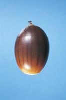 シラカシの実(ドングリ) 32053000222| 写真素材・ストックフォト・画像・イラスト素材|アマナイメージズ